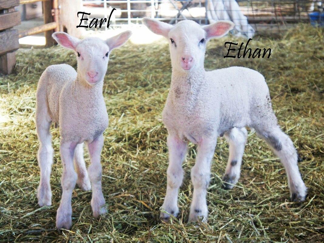 Dairy Sheep For Sale - Harmony Heritage Farm